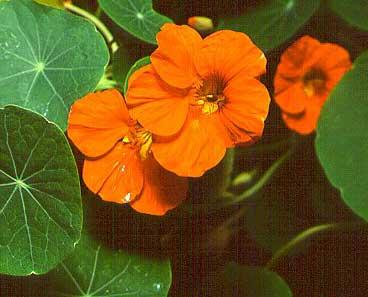 http://cdn.bydleni.com/img/2005/clanky/albums/userpics/10001/thumb_kvetiny_lichorerisnice.jpg