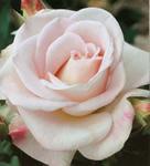 http://cdn.bydleni.com/img/ig/cl/albums/userpics/10001/thumb_flora_ruze.jpg