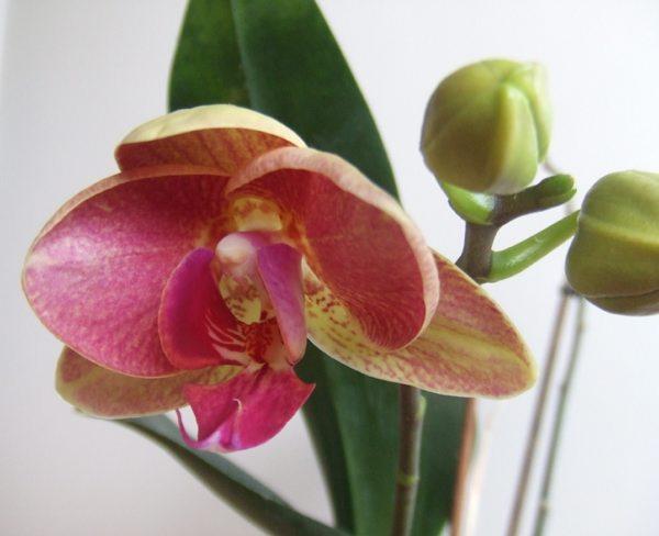 http://cdn.bydleni.com/rimport/img/1001/thumb_orchidea_kvet_1.jpg