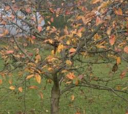Podzim je pro výsadbu ovocných dřevin nejvhodnější