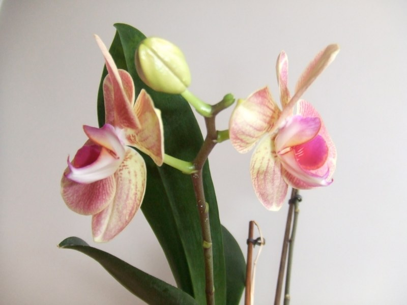 http://cdn.bydleni.com/rimport/img/2014_01/thumb_orchidea.jpg