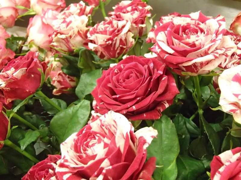 http://cdn.bydleni.com/rimport/img/img/2015_07/thumb_flora_ruze.jpg