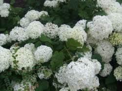 Právě kvetou: Mochna, ibišek, komule, hortenzie…