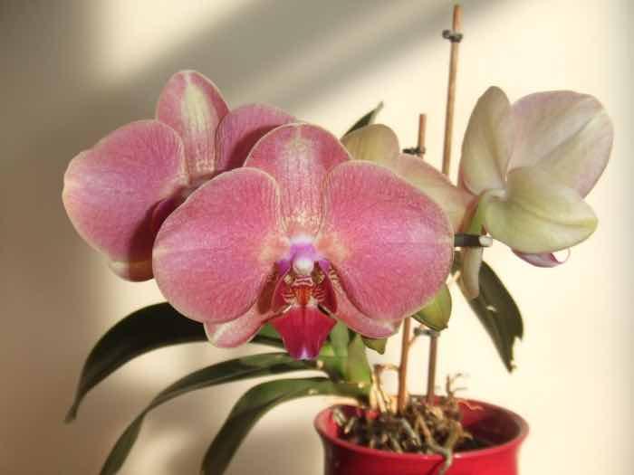 http://cdn.bydleni.com/rimport/img/img/2016_03/thumb_kv_orchideje_2.jpg