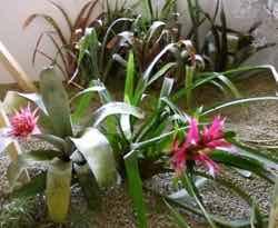 Bromélie jsou prý květiny budoucnosti