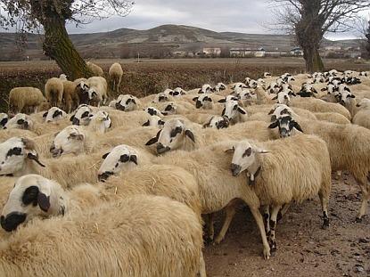Proč tolik lidí miluje přikrývky z ovčí vlny?