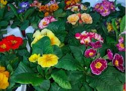 Primulky hlásí jaro