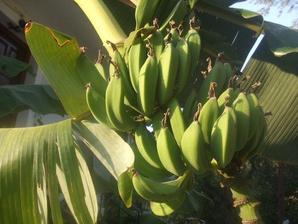 https://cdn.bydleni.com/rimport/img/0902/thumb_banany.jpg