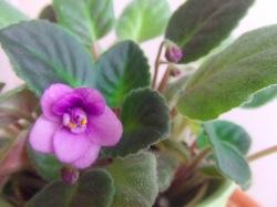 Květiny v interiéru: Africká fialka