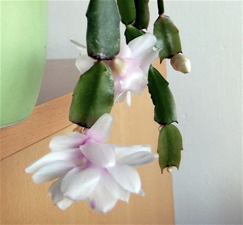 https://cdn.bydleni.com/rimport/img/2013_12/thumb_vanocni_kaktus_x.jpg