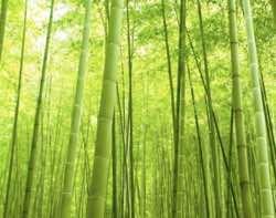 Magický bambus
