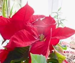 Květiny v zimním interiéru: Co s odkvetlou vánoční hvězdou?